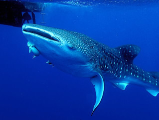 What St Helena Whale sharks have in common with fine silver