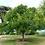 Thumbnail: Bois de Panama
