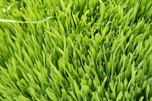 Herbe de blé - Agropyre