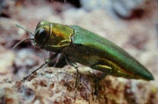 WORRIED ABOUT THE EMERALD ASH BORER?