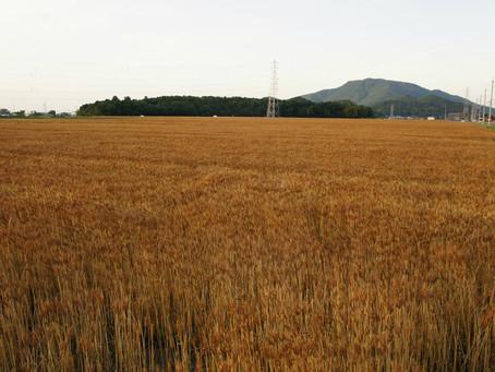 6月3日「麦が実りました」(マタイによる福音書13章1節-9節)