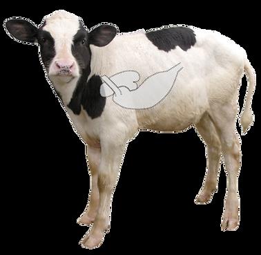 1_calf.png