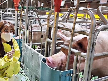 uLikeKorea successfully develops pig farming ICT solution