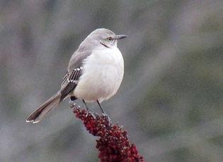 Northern Mockingbird_Holly Geary.jpg