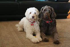 Labradoodle puppies for sale in brisbane