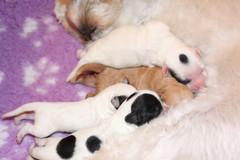 Parti pups