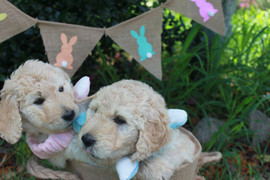 Easter puppies