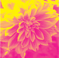 Dahlia yellow and pink