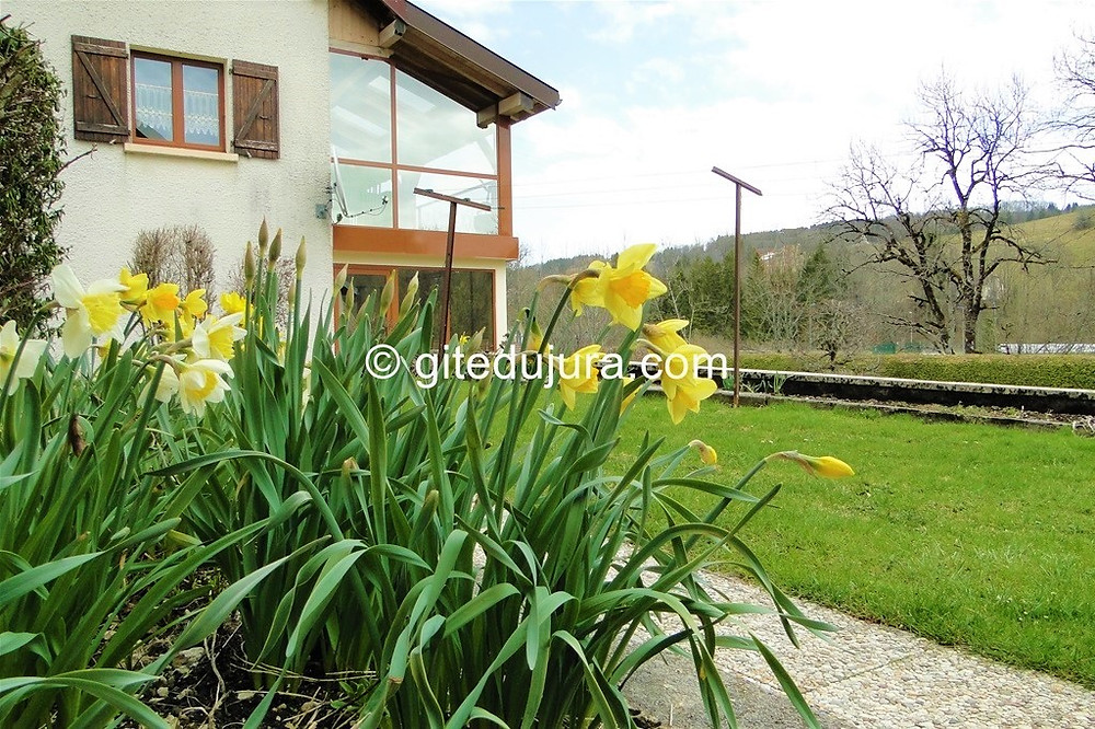 Spring daffodils - Vacation rental in Haut-Jura mountain