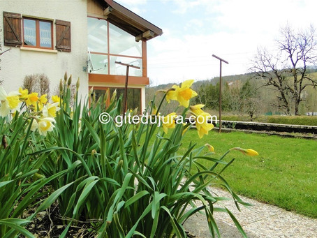Spring and its daffodils in the High-Jura mountains