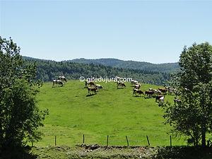 Foncine le haut - Vaches Montbéliardes - Location de gîtes vacances en montagne Haut-Jura