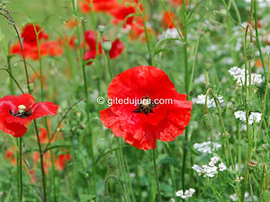 Flower - Poppy - Rental of cottages for holidays in the High-Jura mountains
