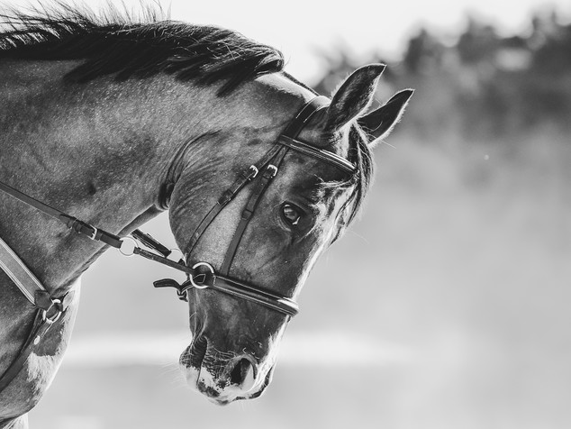Horse monochrome