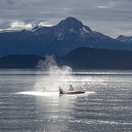 Alaska_orcaCU.jpg