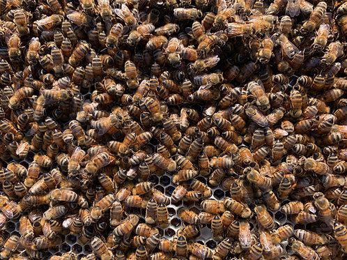 SOLD OUT FOR SPRING 2021 Italian nucleus honeybee colony (nuc)