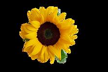 sun-flower-3289333_960_720.png