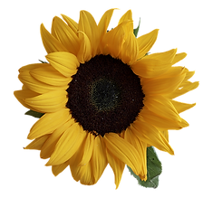 sun-flower-3289333_960_720_edited.png