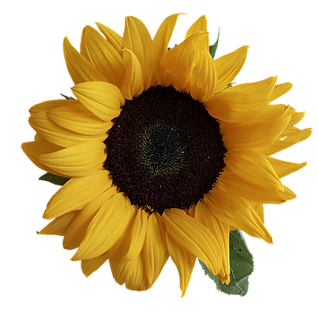 sun-flower-3289333_960_720_edited.png