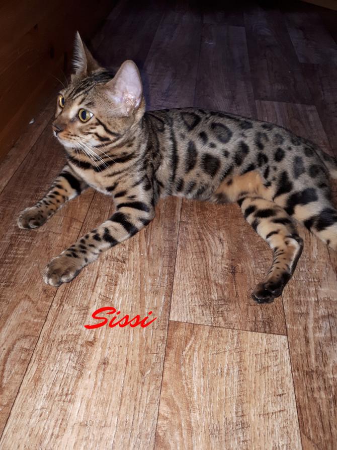 Sissi (Bengale) und Pauli zwei junge verspielte Katzen