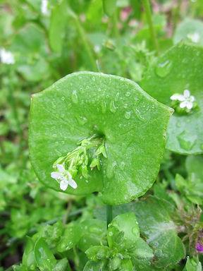 claytonia-perfoliata-846511_960_720.jpg