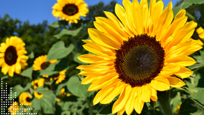 What about sunflowers?