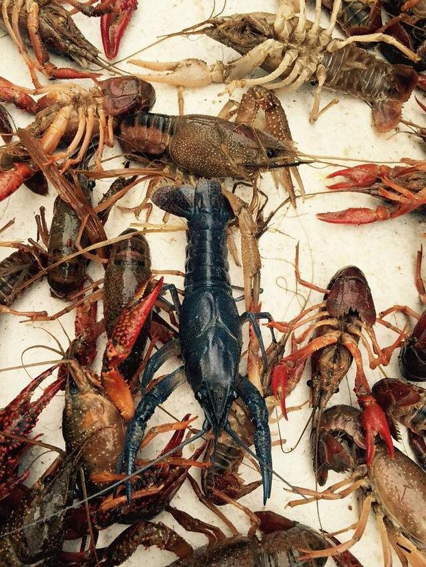 Blue Crawfis