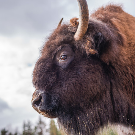 Bison for Dogs