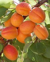 Apricot-Flavorcot.jpg