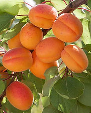 Apricot-Flavorcot.jpg