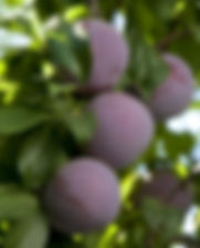 Pluot_tree.jpg