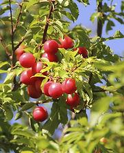 cherry_plum.jpg