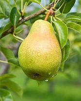 Pear_tree.jpg