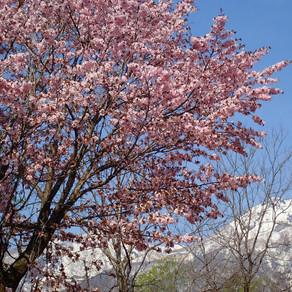 2020/5/1 我が家の桜