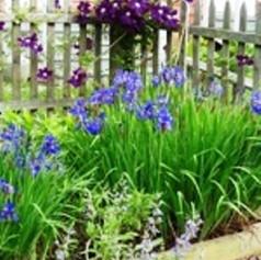 Iris and clematis in our Kitchen Garden.