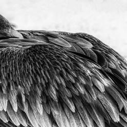 Pelican Art in monochrome