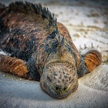 Iguana splooting