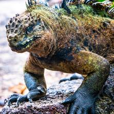 Rocky Iguana