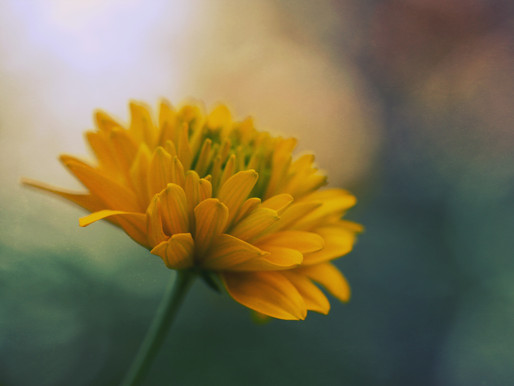 In the Spotlight: Calendula