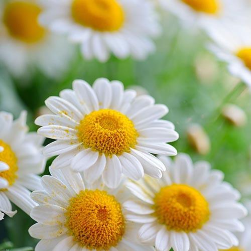 Skincare benefits of chamomile flower extracts | Skintelligence