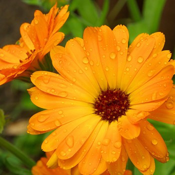 Skincare benefits of calendula flower extracts | Skintelligence