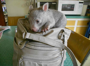 Experience the wildlife on Flinders Island Wombats