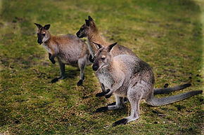 Experience the wildlife on Flinders Island Wallabies
