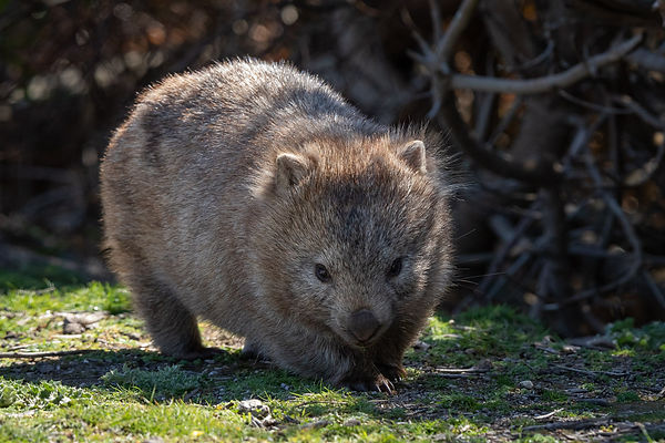 Experience the wildlife on Flinders Island