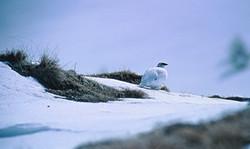 Photo © P. Morillon Horizons - Lagopède alpin