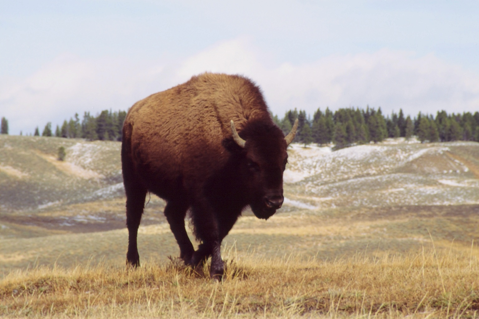 Photo © P. Morillon Horizons - Bison
