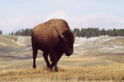 Photo © P. Morillon Horizons - Bison