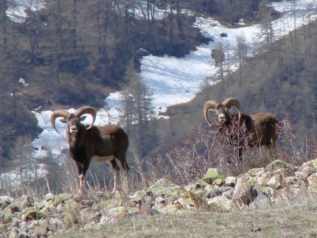 Photo © P. Morillon Horizons - Mouflons