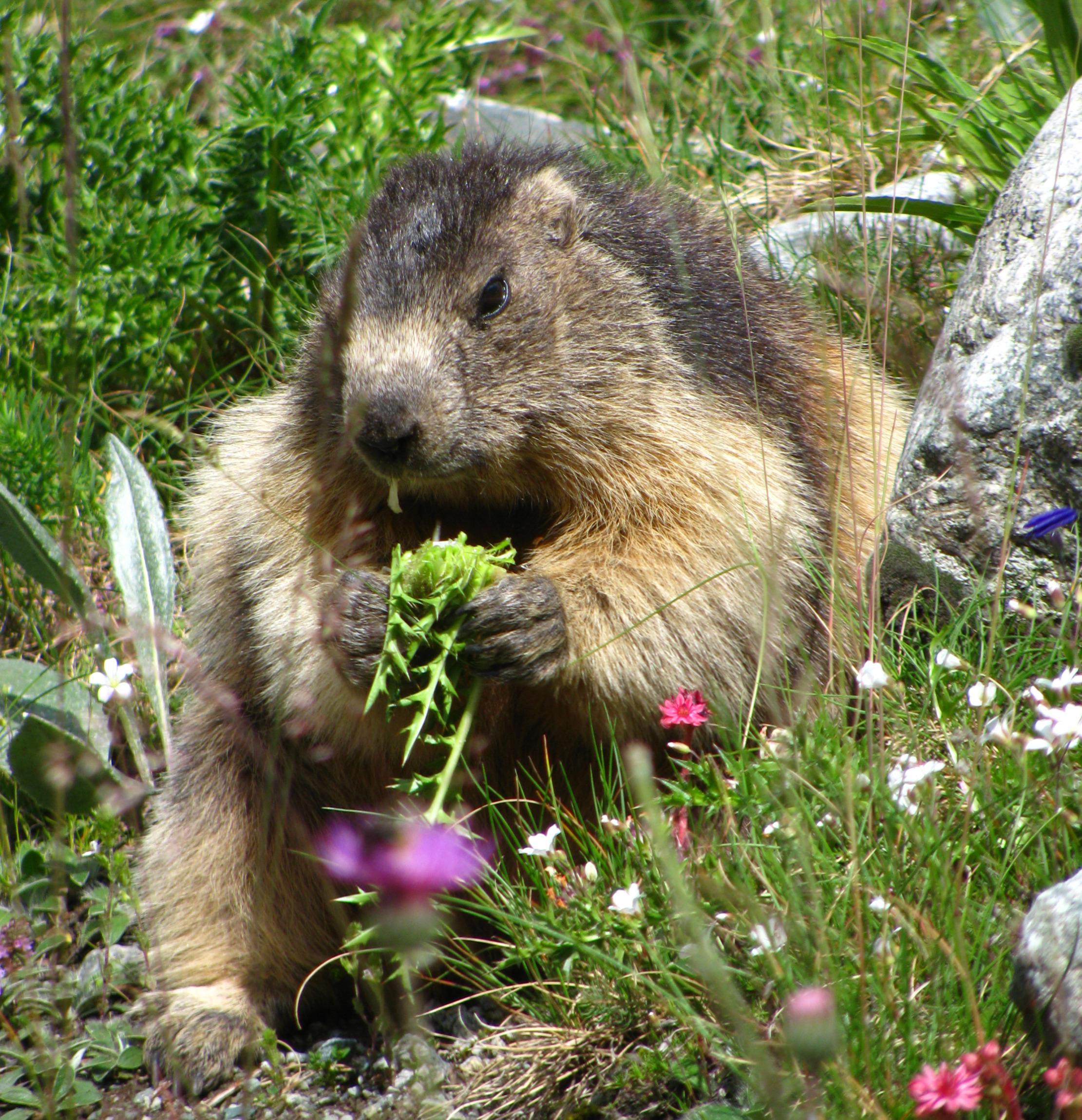 Photo © P. Morillon Horizons - Marmottes