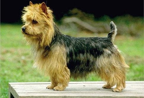 Австралийский терьер мелкая порода собак