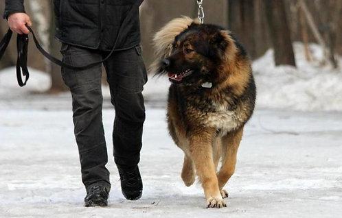 Кавказская овчарка российская порода крупных охранных собак